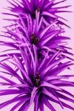 Purpurfärgad siden- blommakronbladcloseup Royaltyfria Bilder