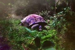 Purpurfärgad sköldpadda Royaltyfria Foton