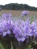 Purpurfärgad skönhet Royaltyfria Foton