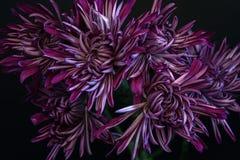 Purpurfärgad skönhet fotografering för bildbyråer