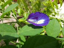 Purpurfärgad skönhet Arkivfoto