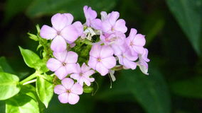 Purpurfärgad skönhet arkivbild