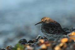 Purpurfärgad snäppaCalidrismaritima som söker för mat på shorelinen i sisten av dagsolljuset Royaltyfria Bilder