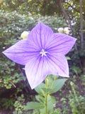 Purpurfärgad stjärnablomma Royaltyfri Bild