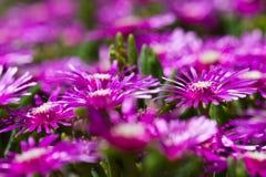 Purpurfärgad succulant blommacloseup Arkivbilder