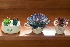 Purpurfärgad suckulent växt för rosa färger och för gräsplan i gullig kopp royaltyfri foto