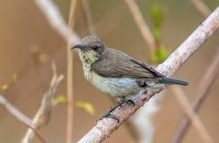 Purpurfärgad sunbird Fotografering för Bildbyråer
