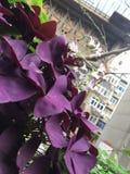 Purpurfärgad syra Royaltyfria Bilder