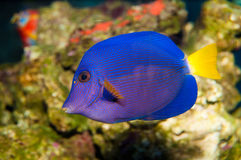 Purpurfärgad Tang i akvarium Arkivbild