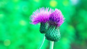 purpurfärgad tistelblomma/härlig blomma arkivbild