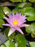Purpurfärgad tropisk lotusblomma Royaltyfri Bild