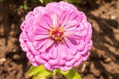 Purpurfärgad tsiniya som blommar i blomsterrabatten Fotohorisontalformat Royaltyfri Fotografi