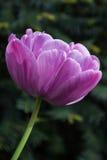 Purpurfärgad tulpan, botaniska trädgårdar av Balchik, Bulgarien Royaltyfria Foton