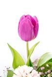 Purpurfärgad tulpan i en blommaordning Fotografering för Bildbyråer