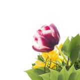 Purpurfärgad tulpan i grupp med gulingblommor som isoleras Royaltyfri Fotografi
