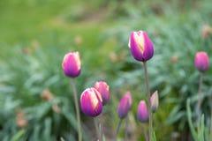Purpurfärgad tulpan på grön bakgrund Royaltyfria Bilder