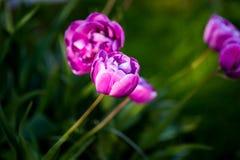 Purpurfärgad tulpanblåttdiamant skyen för showen för växter för rörelse för den förfallna för fältet för blueoklarhetsdagen ligga Royaltyfri Fotografi