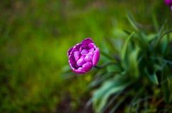 Purpurfärgad tulpanblåttdiamant skyen för showen för växter för rörelse för den förfallna för fältet för blueoklarhetsdagen ligga Royaltyfria Bilder