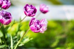 Purpurfärgad tulpanblåttdiamant skyen för showen för växter för rörelse för den förfallna för fältet för blueoklarhetsdagen ligga Fotografering för Bildbyråer