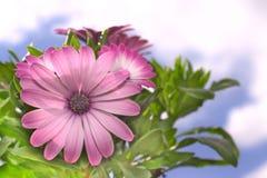 Purpurfärgad tusensköna Royaltyfria Foton