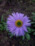 Purpurfärgad tusensköna med engräsplan mitt Arkivfoto