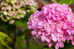 Purpurfärgad vanlig hortensiablomma (vanlig hortensiamacrophylla) i en trädgård Royaltyfri Fotografi