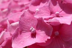 Purpurfärgad vanlig hortensiablomma (vanlig hortensiamacrophylla) i en trädgård royaltyfri bild