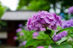 Purpurfärgad vanlig hortensiamacrophyllablomma Royaltyfria Bilder