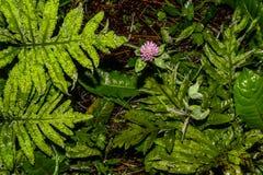 Purpurfärgad vildblomma i de daggiga ormbunkarna Royaltyfri Foto
