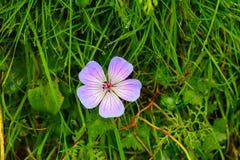 Purpurfärgad vildblomma med gräsbakgrund royaltyfri foto