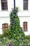 Purpurfärgad vinda i den färgrika blomsterrabatten, kolonn framme av fönster Fotografering för Bildbyråer