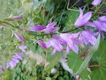 Purpurfärgad vinrankablomma på jordningen Fotografering för Bildbyråer