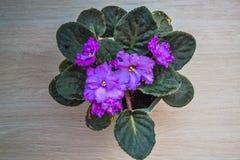 Purpurfärgad violet med gräsplansidor i en kruka Royaltyfri Bild