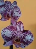 Purpurfärgad vit orkidéPhalaenopsis på orange bakgrund Royaltyfria Bilder