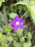 Purpurfärgad wild blomma Royaltyfria Foton
