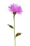 Purpurfärgad wild blomma Royaltyfri Bild