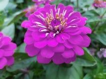 purpurfärgad zinniablomma i en trädgård royaltyfri bild