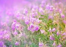 Purpurfärgade ängblommor Royaltyfria Bilder