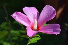 Purpurfärgade Althea Bloom Royaltyfri Foto