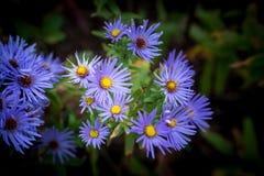 Purpurfärgade aster Flower Mound Fotografering för Bildbyråer
