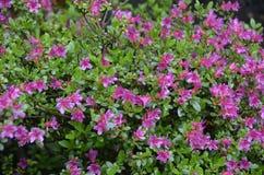 Purpurfärgade azaleor Royaltyfria Bilder