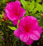 Purpurfärgade azaleor i trädgården Arkivbilder