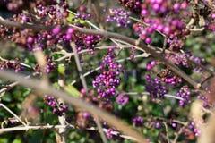 Purpurfärgade bär i trädet Arkivfoto
