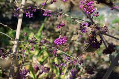Purpurfärgade bär i trädet Royaltyfri Foto