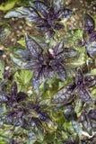 Purpurfärgade Basil Plants royaltyfria bilder