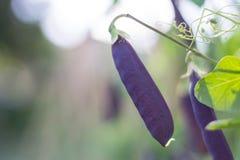 Purpurfärgade Bean Pods Growing i en gemenskapträdgård Royaltyfri Bild