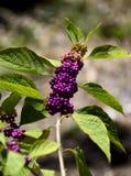 Purpurfärgade Beautyberry Royaltyfri Bild