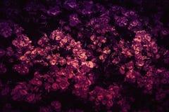 Purpurfärgade Begonia Flowers Background Photo royaltyfri fotografi