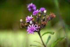 Purpurfärgade blom Arkivbilder