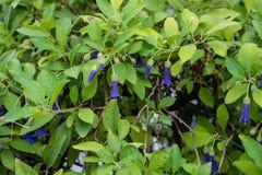 Purpurfärgade blommaknoppar av den australiska växten för acnistussolanaceae som blommar i trädgård arkivbilder